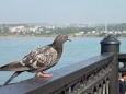 Евросоюз выступил против жареных голубей